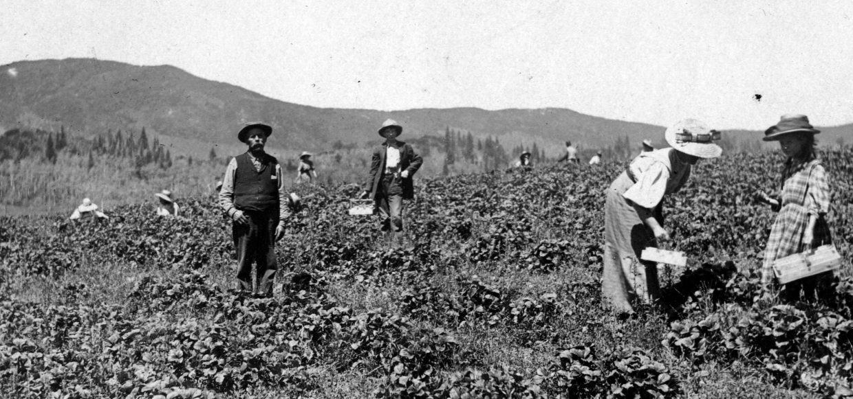 Picking strawberries in Strawberry Park in 1915.