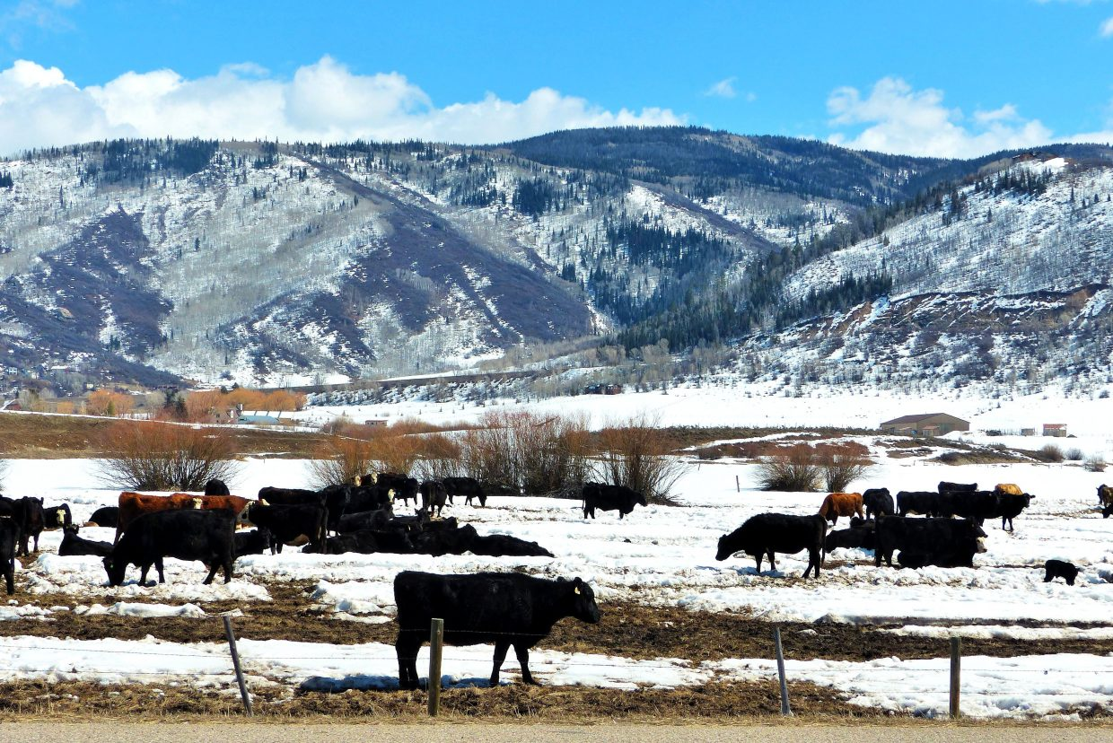 Cattle are grazing along Highway 131, south of Steamboat. Submitted by Shannon Lukens.
