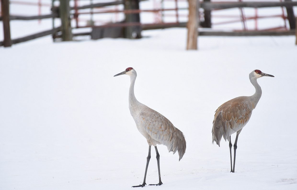 The cranes have returned to the Yampa Valley. These bird were spotted west of Steamboat Springs and while they didn't seem to enjoy the cold wind blowing across the snow the birds arrival is a sure sign that spring has arrived