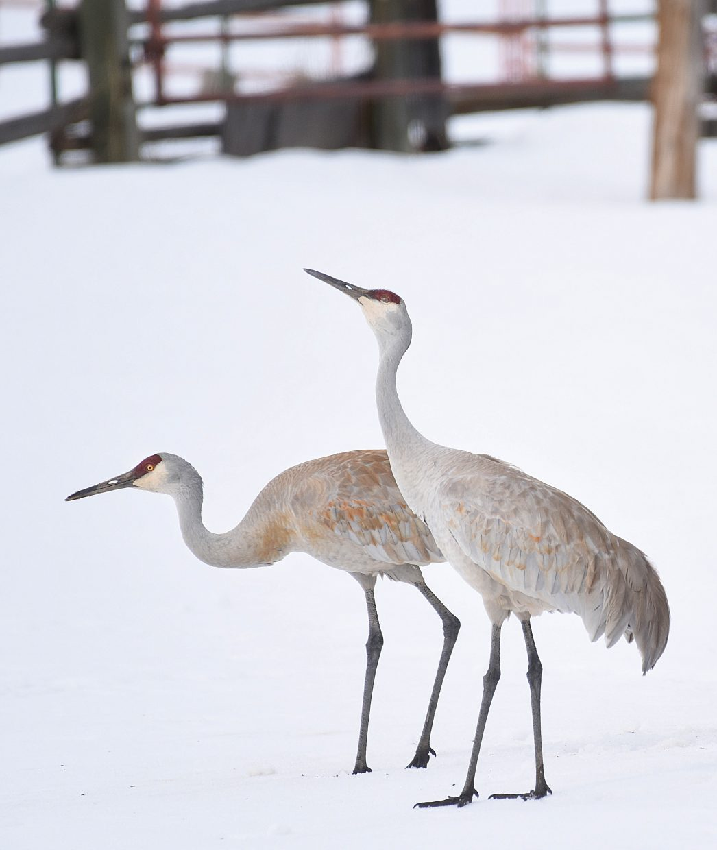 The cranes have returned to the Yampa Valley. These birds were spotted just west of Steamboat Springs, and while they didn't seem to enjoy the cold wind blowing across the snow, the birds' return is a sure sign that spring has arrived.