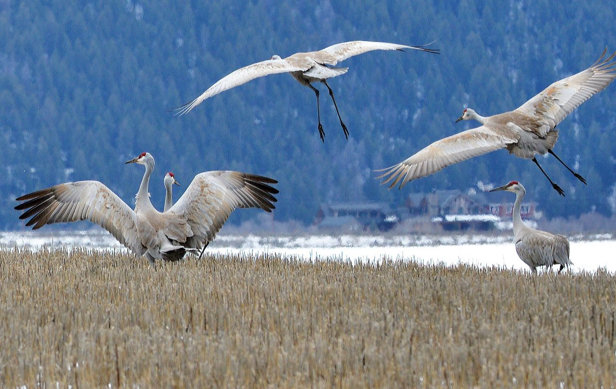 Cranes have returned to the Yampa Valley. A large group of the birds gathered in a field off of Routt County Road 42 Tuesday afternoon.