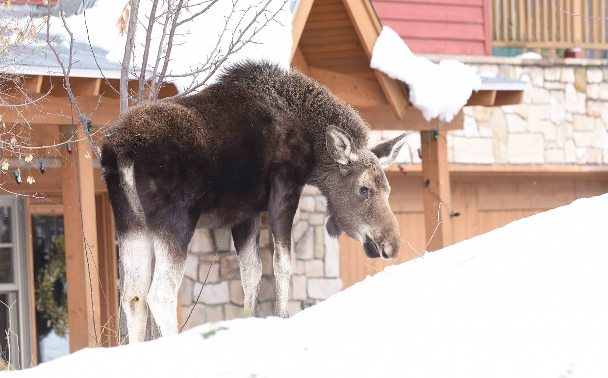 A young moose stands in the front yard of a home on the Boulevard in downtown Steamboat Springs Thursday afternoon. The animals have been hanging around the neighborhood, grazing on small trees and bushes.