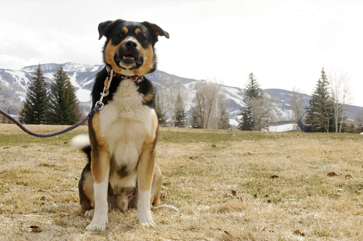 Mamba, pictured Wednesday at West Lincoln Park, is back with his owner after breaking out of the Steamboat Springs Animal Shelter on Friday.