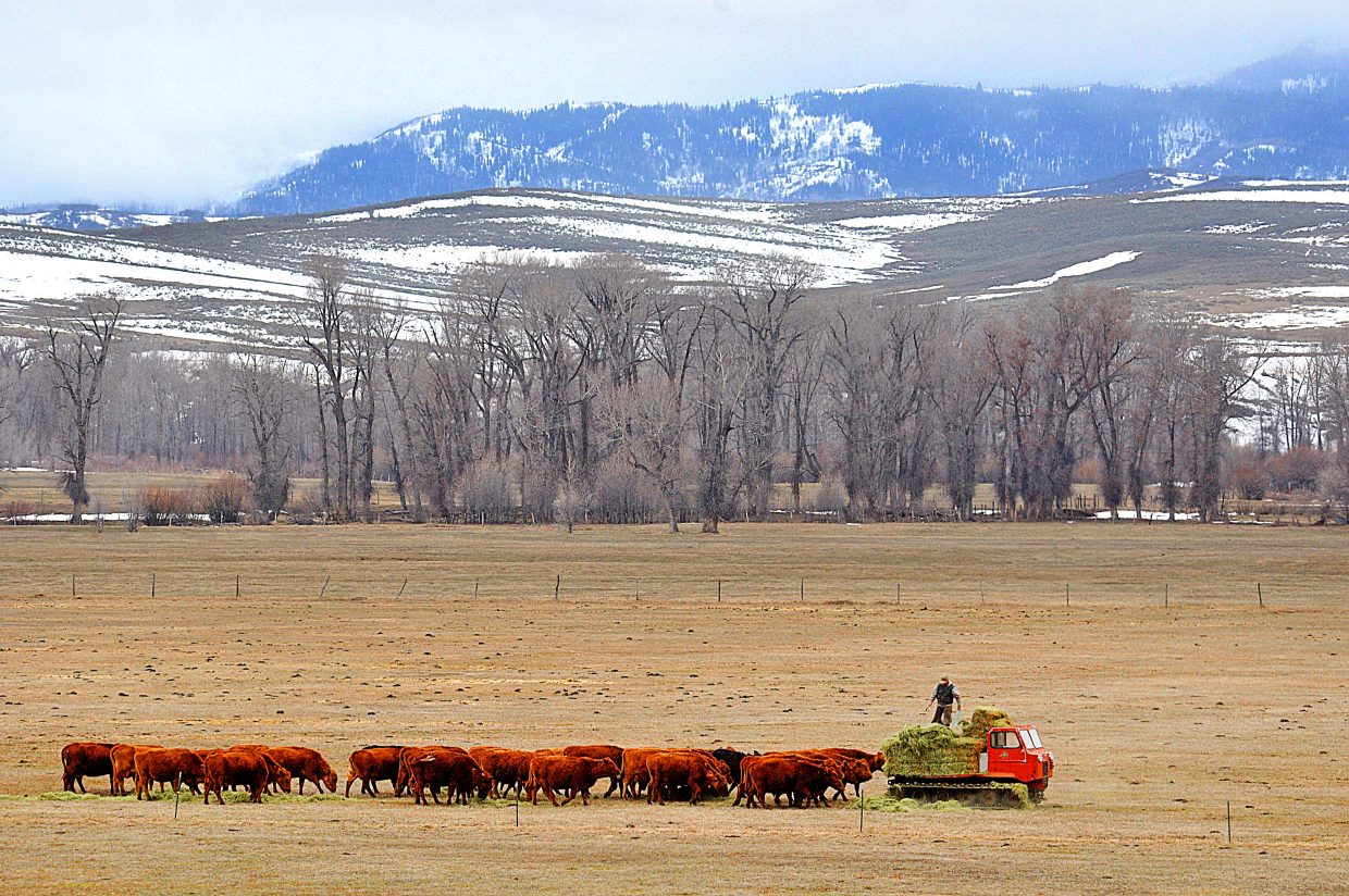 A rancher on a snowcat feeds a herd of cattle in the Elk River Valley on Tuesday afternoon.