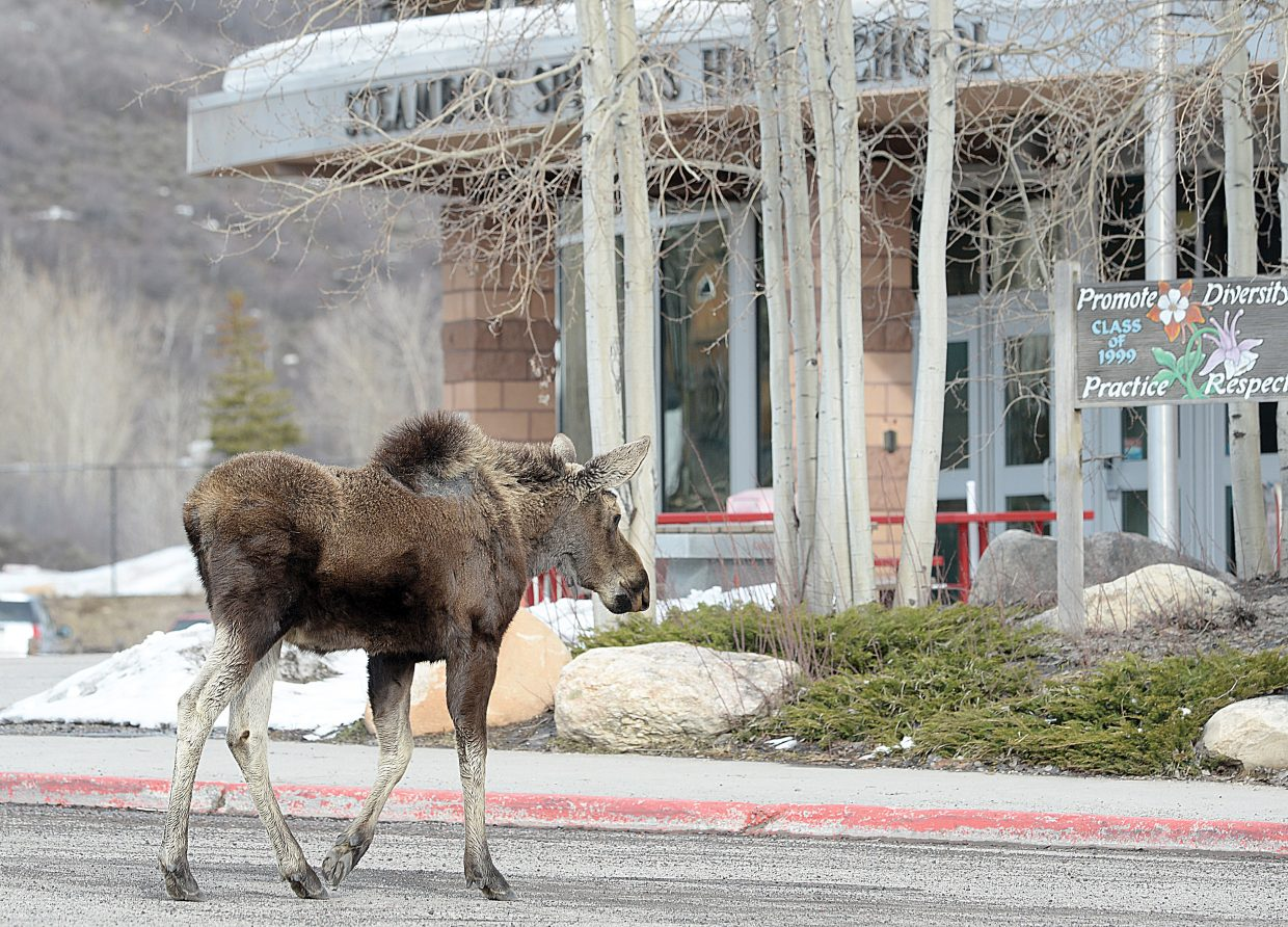 A young moose walks past the entrance to Steamboat Springs High School on Tuesday evening. it was the second day in a row that this moose and another have visited the high school looking for something to eat, and drawing the attention of passing motorists and residents.