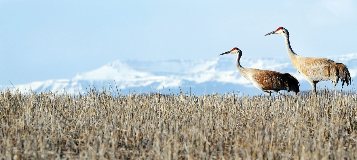 Cranes walk through a field west of Steamboat Springs. Celebrate the greater sandhill cranes this weekend at the seventh annual Yampa Valley Crane Festival.