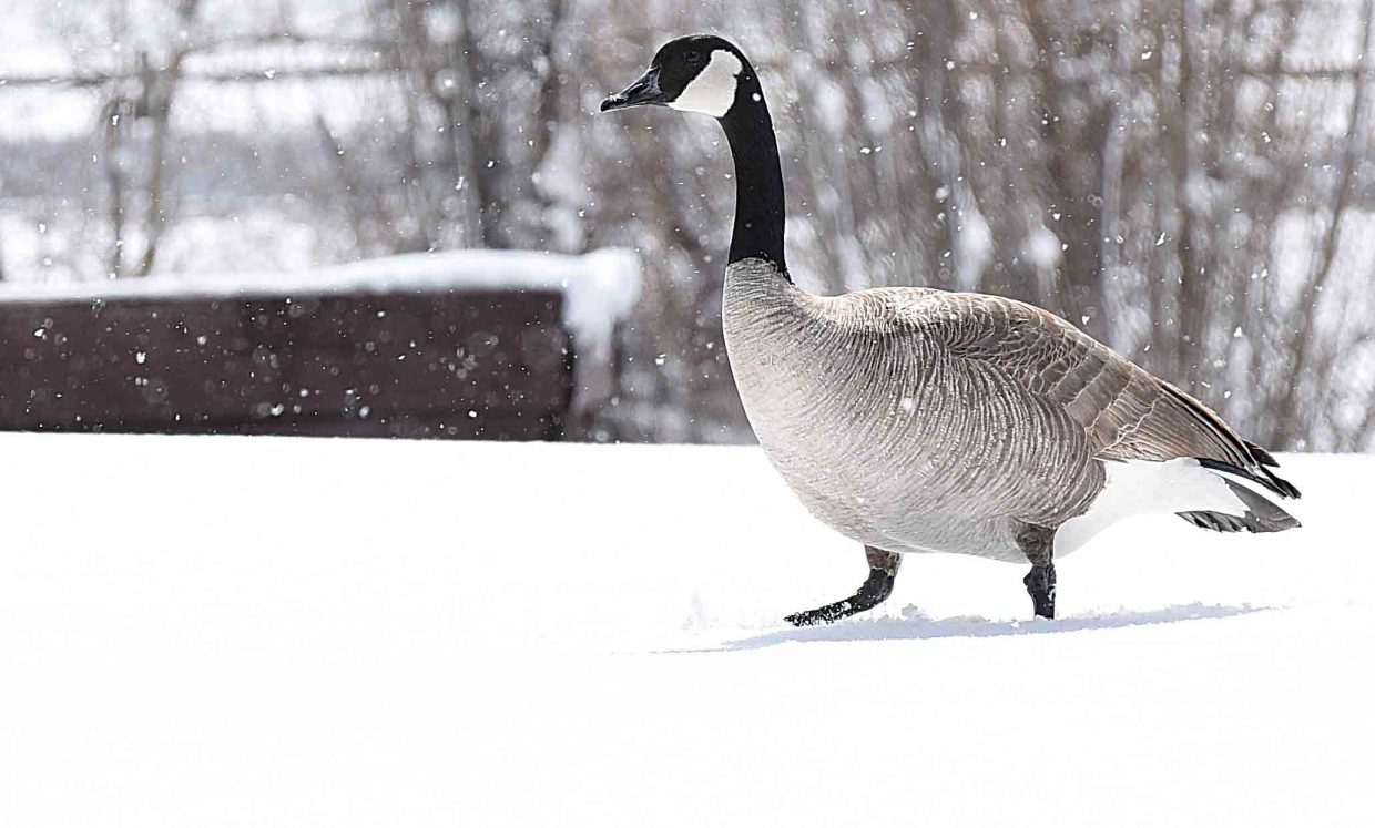 A goose makes tracks for the pond in West Lincoln Park this week. The bird didn't seem to be enjoying the several inches of new powder as it laid down some fresh tracks.