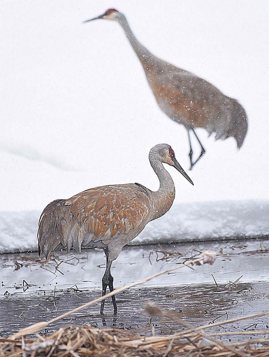 The Colorado Crane Conservation Coalition will also be at the Steamboat Art Museum's interactive Family Night with a variety of activities offered for adults and kids.