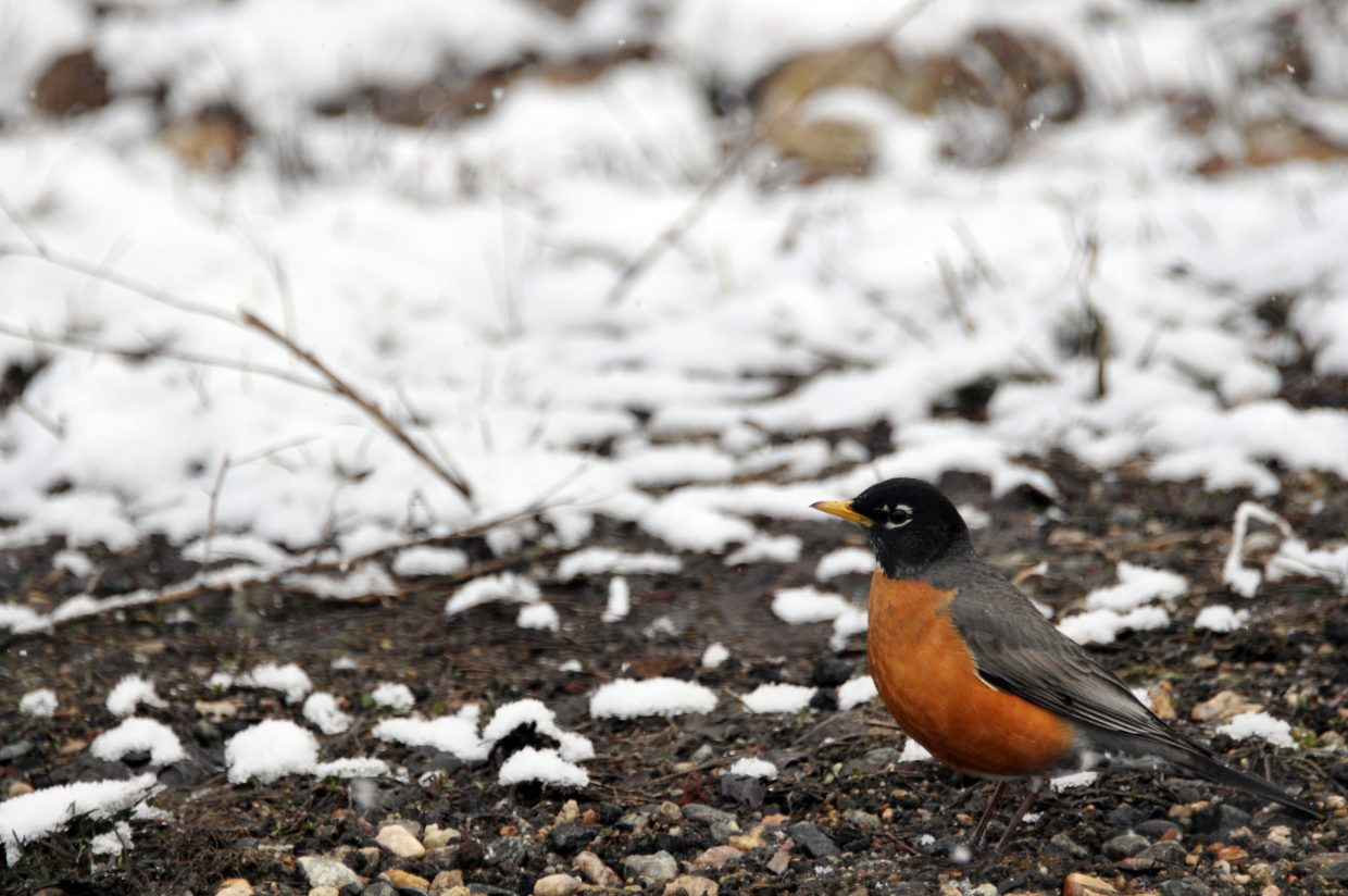 A robin looks for food in some snowy grass in Steamboat Springs.