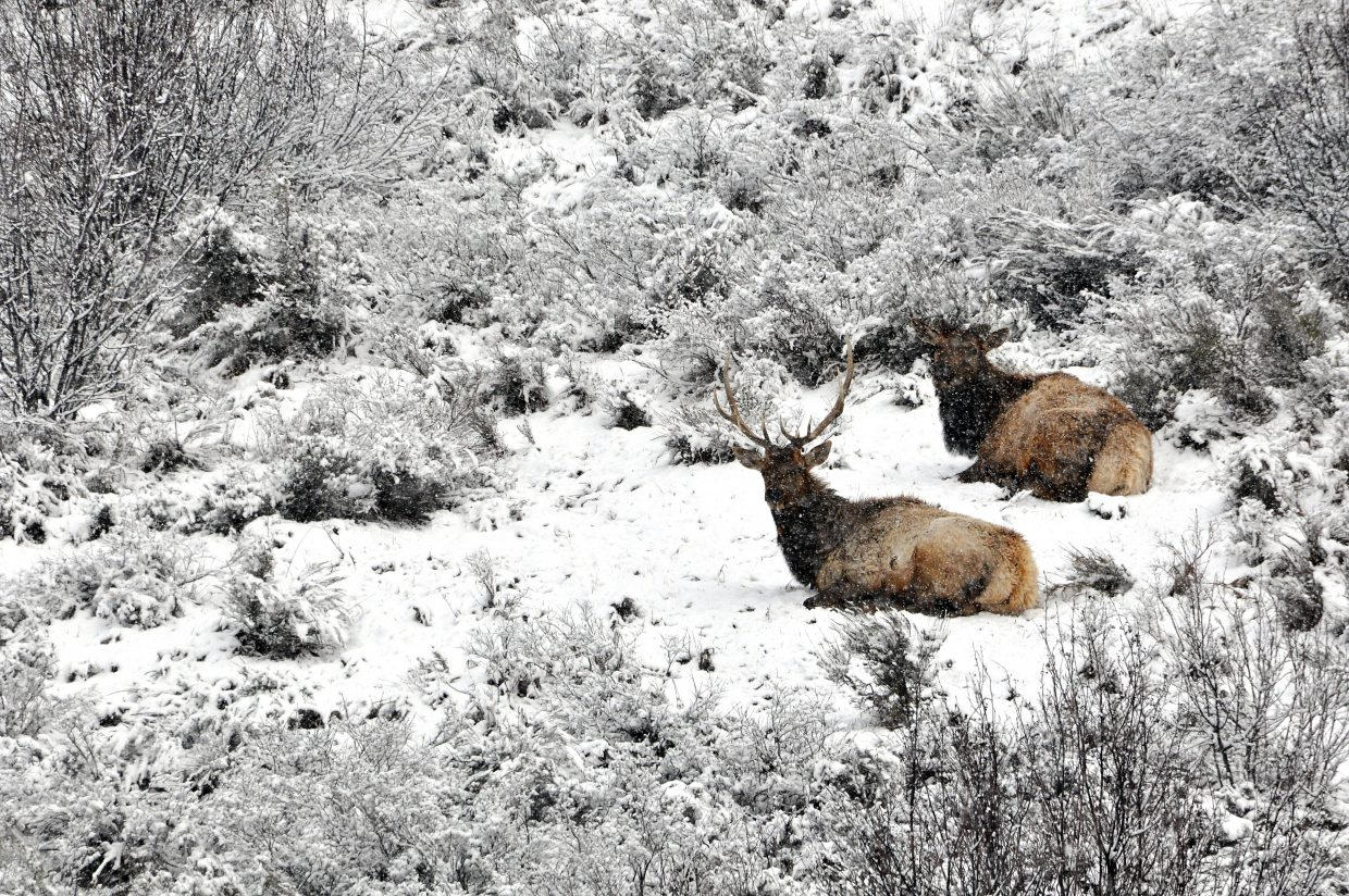 A pair of elk lie low during a morning snow shower in Steamboat Springs.