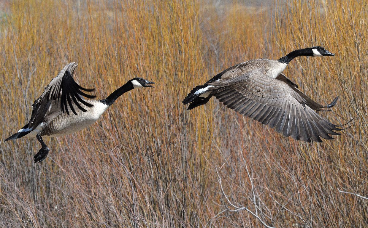 A pair of Canada geese take flight at the Chuck Lewis State Wildlife Area just outside of Steamboat Springs.