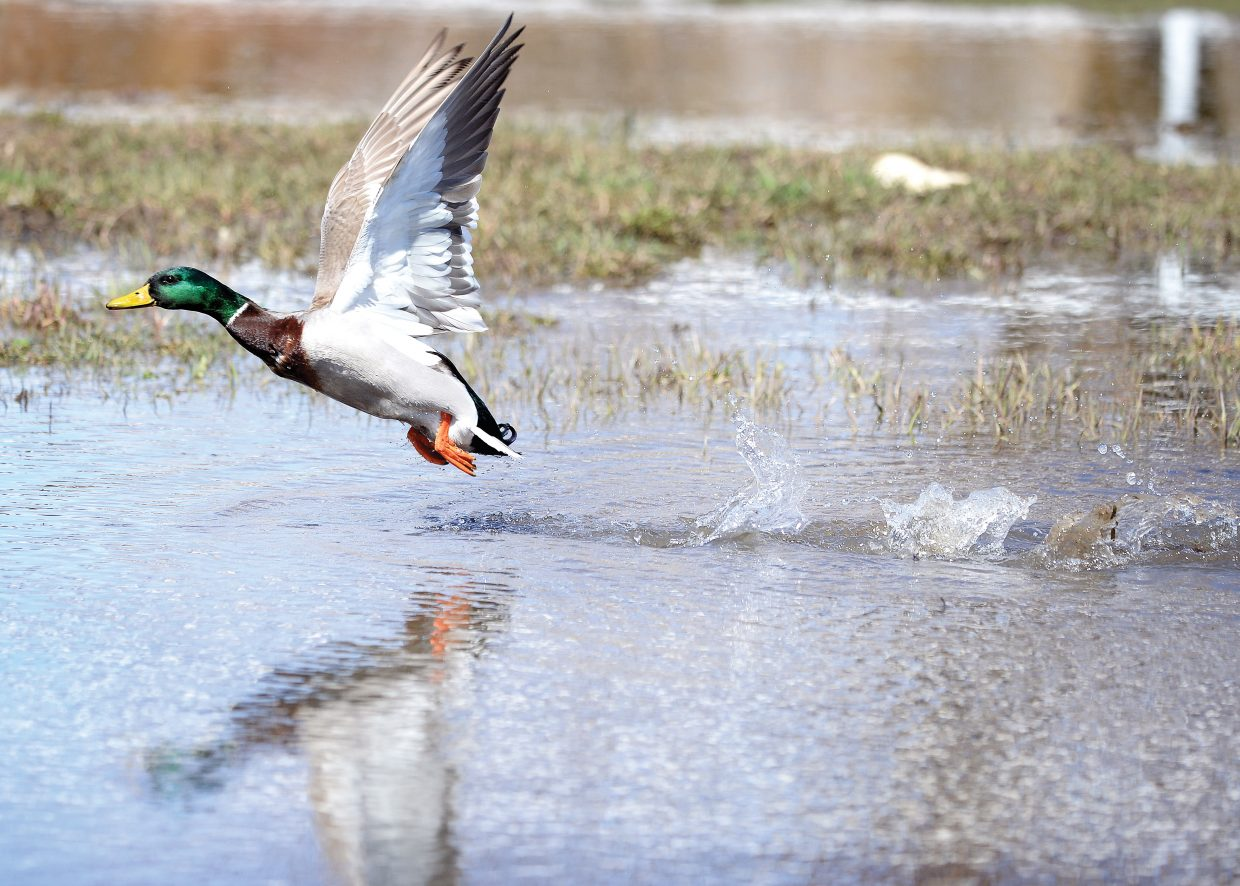 A duck takes flight from a shallow pond that has formed near the Howelsen Hill rodeo grounds. Warm weather, and springtime melting have given ducks plenty of places to hang out in the water.