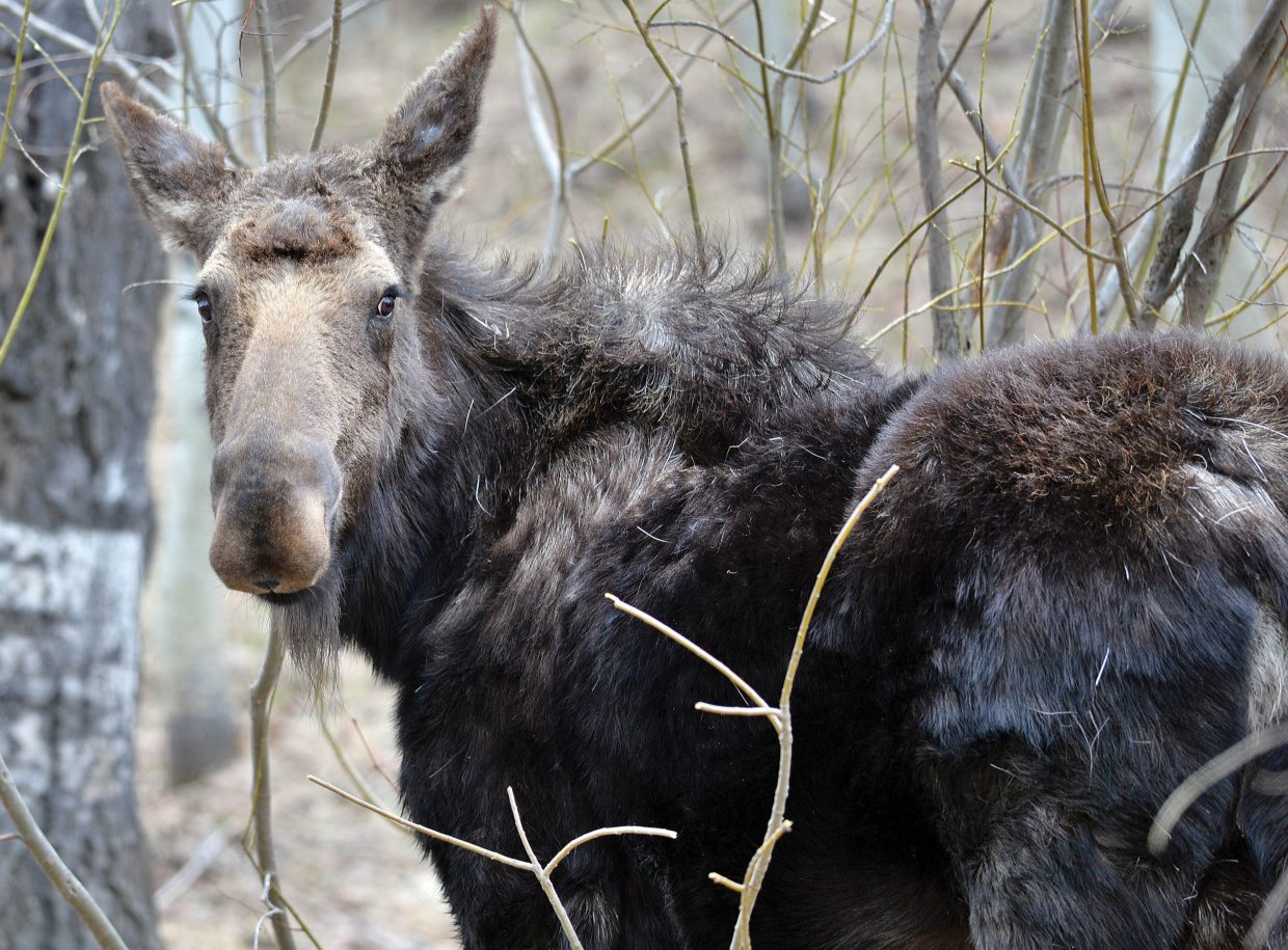 """This moose is proof that everyone has a bad hair day every once in a while. This moose was eating the branches of a willow tree along Routt County Road 36 Friday afternoon near Steamboat Springs. Despite the animal's """"seems-to-care-less attitude,"""" moose are extremely aggressive and should be given a fair amount of space. This photo was taken with a long telephoto lens, but even then, the animal was very aware of the photographer."""