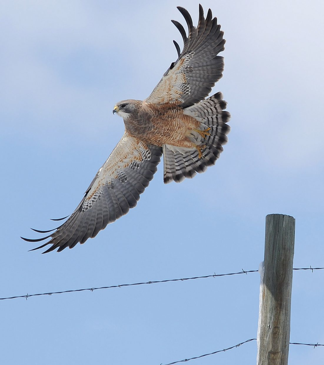 A hawk takes flight from a fence post south of Steamboat Springs on Monday afternoon looking for a meal in the fields along Routt County Road 14.