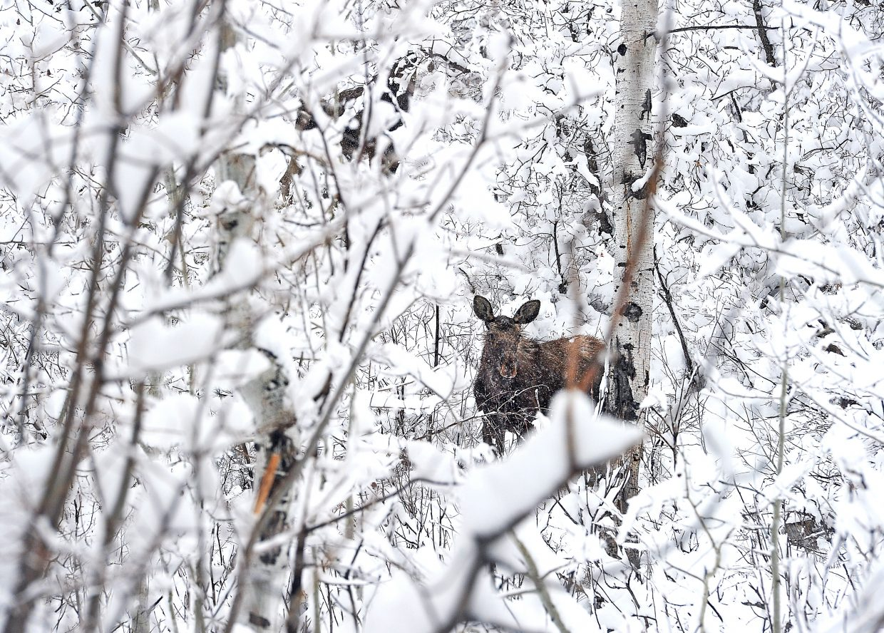 A moose looks for food Friday morning in a snowy aspen grove near Fish Creek Falls. A strong snowstorm dropped several inches of white stuff in Steamboat Springs Friday, and more snow is in the forecast.