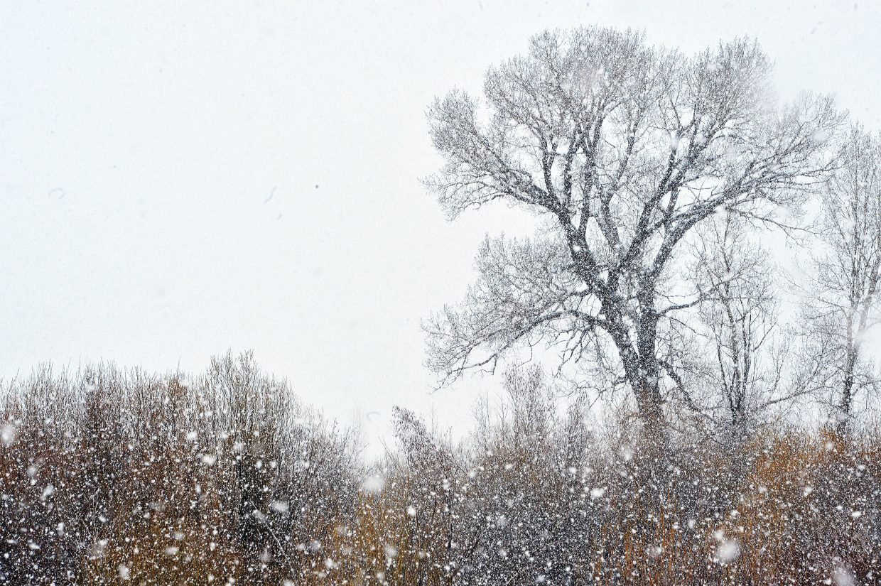 This cottonwood tree is silhouetted against a grey sky Wednesday morning as heavy snow filled the sky around Steamboat Springs.