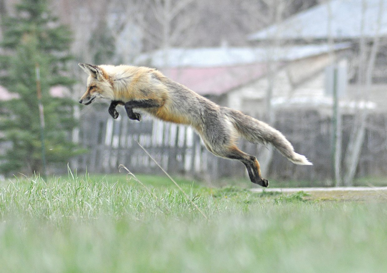 A fox takes to the air as it hunts in the grass near the Brooklyn neighborhood in Steamboat Springs.