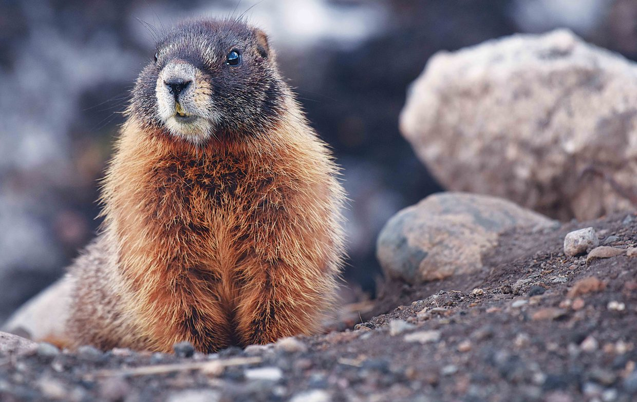 A marmot hangs out near its burrow north of Steamboat Springs Wednesday afternoon. The large animals typically hibernate though the winter, but apparently, Steamboat's winter-like conditions this week were not enough to make this guy to reconsider his decision not to sleep for a few more days.