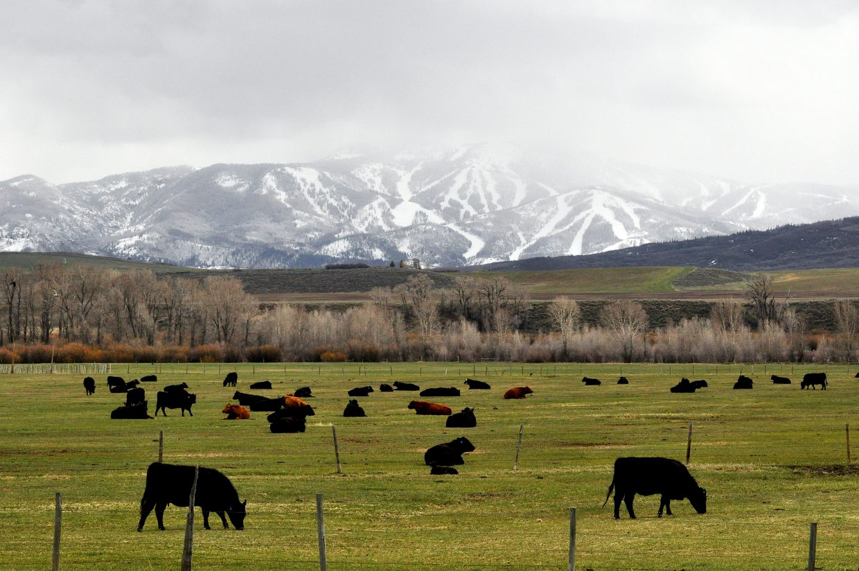 Cattle graze on green fields northwest of Steamboat Springs as snowstorms linger over Mount Werner. Chances of rain and snow persist through Wednesday.