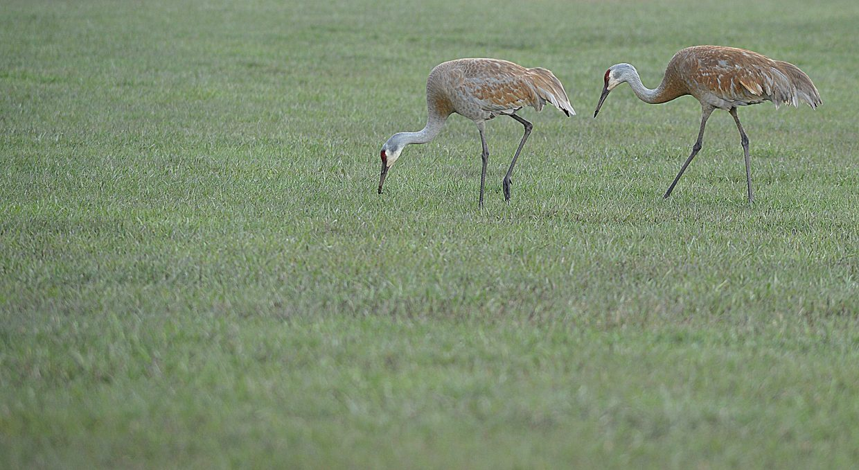 Cranes get a bite to eat Monday morning in a pasture along Colorado Highway 131 just south of Steamboat Springs.