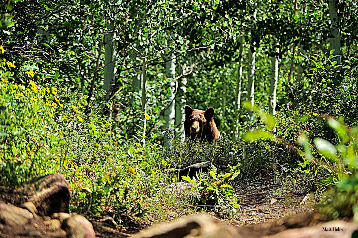This bear was hanging out on Valley View Trail during the EnduroX Race on Mt. Werner Saturday. Submitted by Matt Helm.