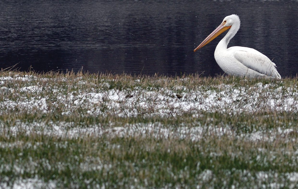 A pelican rests near the shore of a small lake on Colorado Highway 131 on Tuesday morning. The bird's feathers seemed to complement a fresh layer of snow that had fallen overnight.