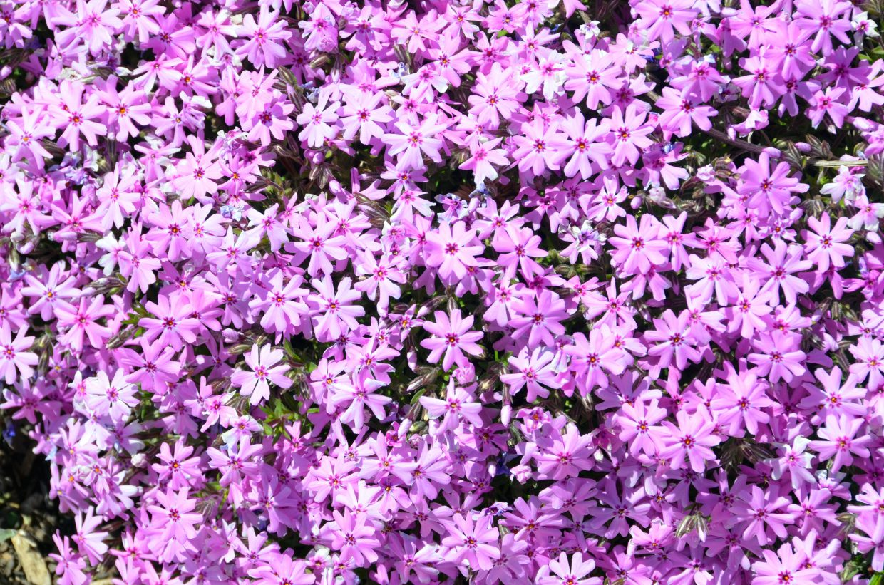 A cluster of creeping phlox are in full bloom at Craig's Victory Garden, near the intersection of Victory Way and Finley Lane. Members of the Craig Beautification Committee are currently working on filling the spot with more flowers and plant life to add additional color to the town for summer.