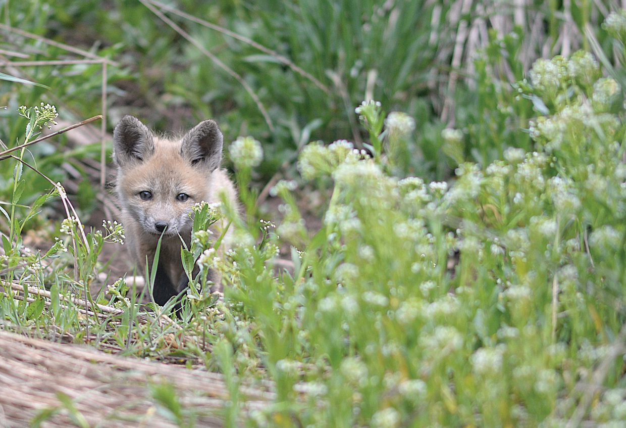 A fox kit keeps his eye on any potential threats Friday morning while playing in front of his den in Steamboat Springs.