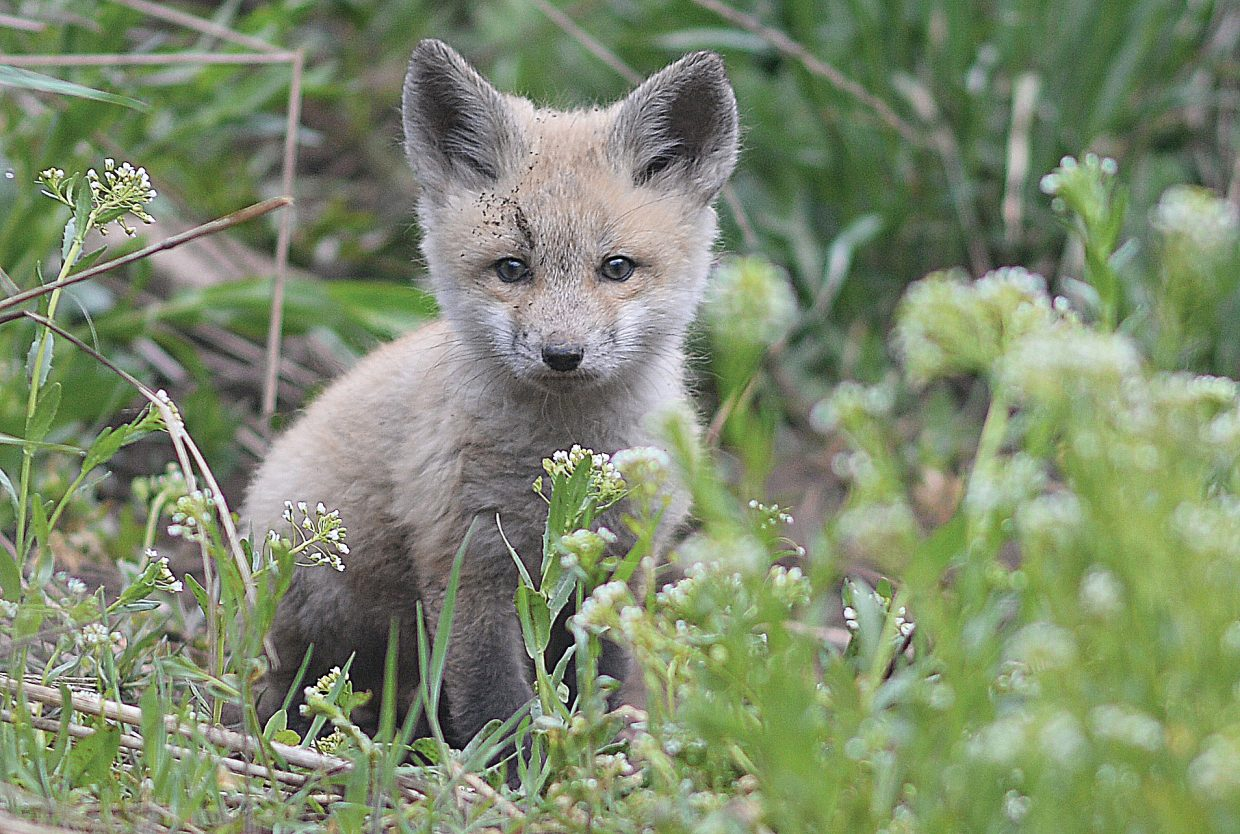 A fox kit sits near its den while keeping an eye on any potential threats Friday morning in Steamboat Springs.