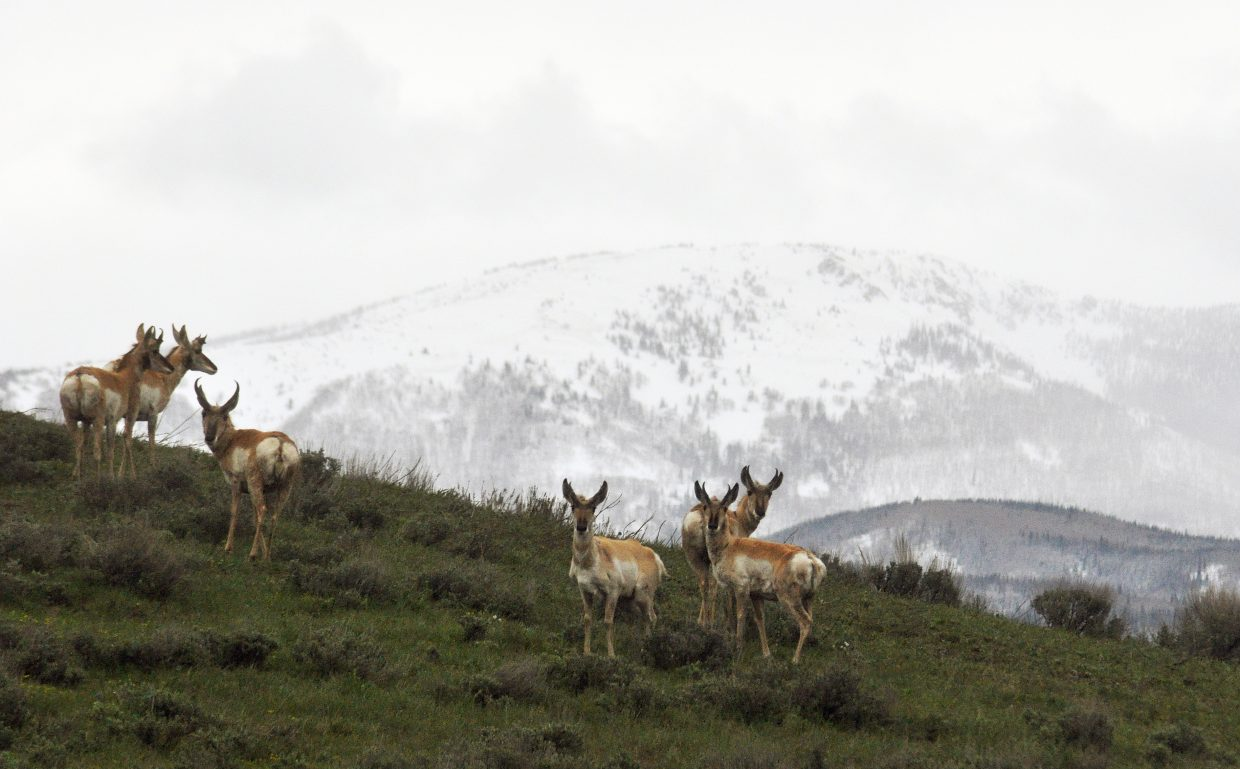 A herd of pronghorn stands in a green field north of Steamboat Springs as snow falls in the mountains. More snow is in the forecast for Monday.