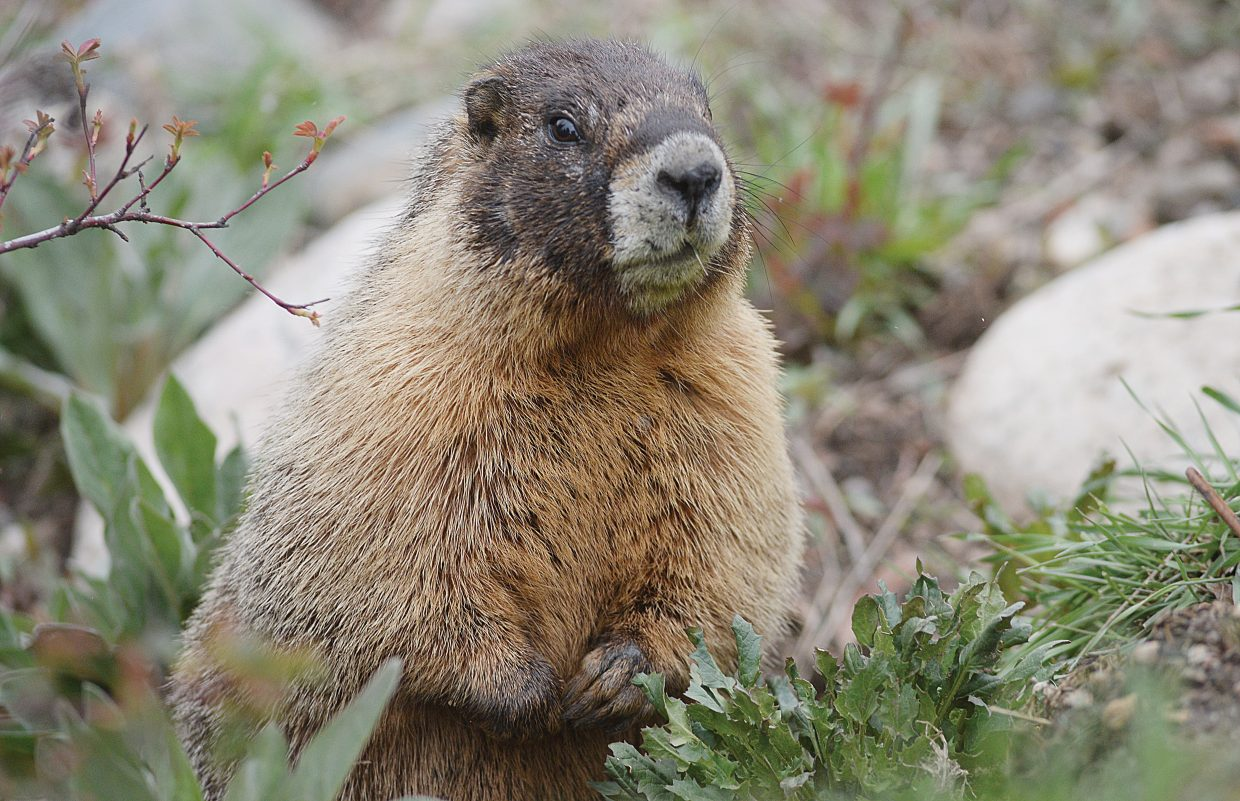 A marmot pokes its head out of a drainage pipe Sunday evening near Steamboat Springs.