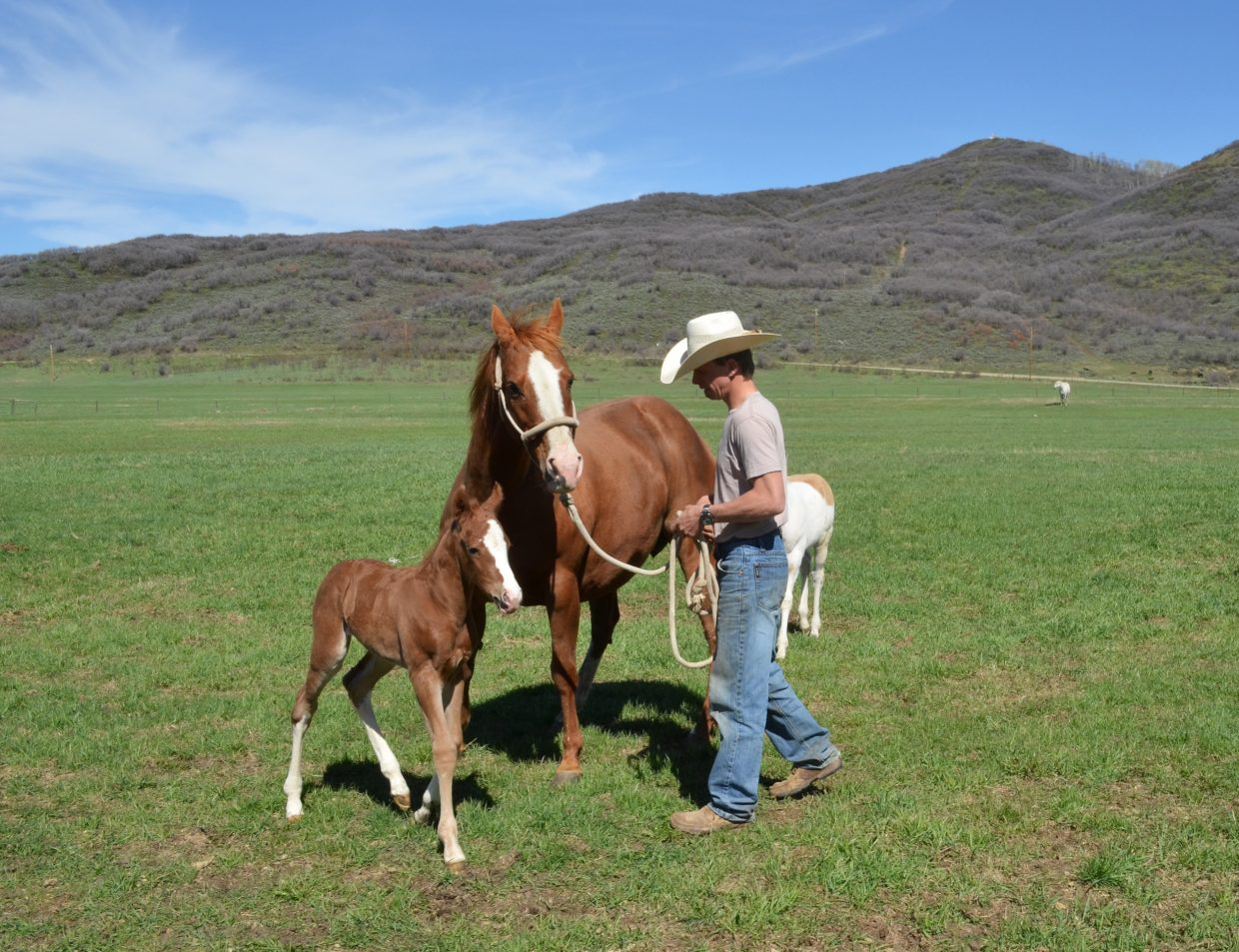 Andy Kurtz introduces a 2-day-old foal named Squirt to the big green world for the first time May 13 on the Kurtz Ranch in the upper Elk River Valley. The mare is Red Bell Pepper.