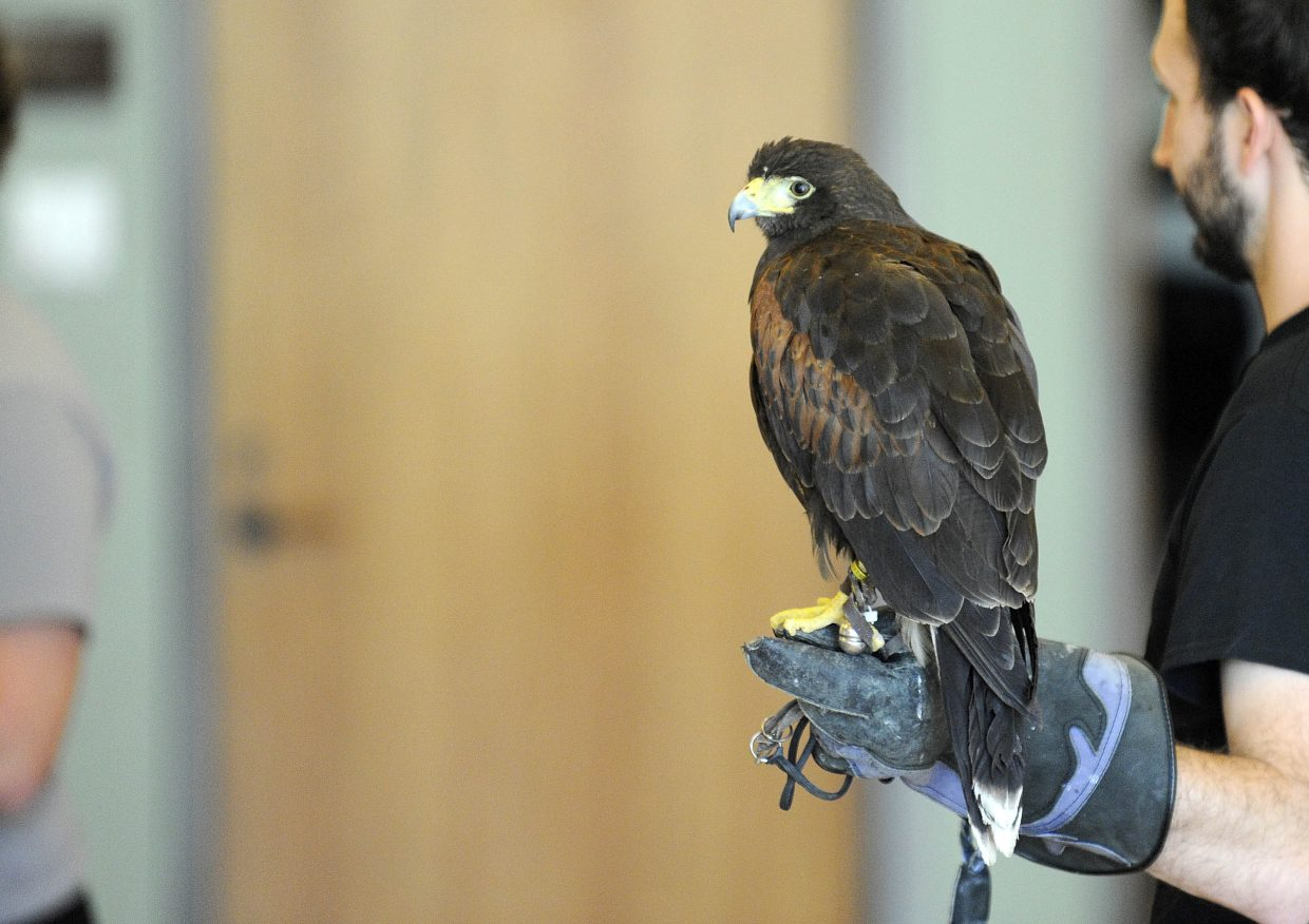 A Harris hawk is displayed Saturday during an International Migratory Bird Day event at Bud Werner Memorial Library.