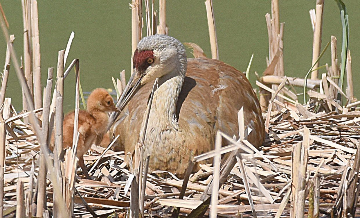A nesting sandhill crane looks after chicks Tuesday afternoon.