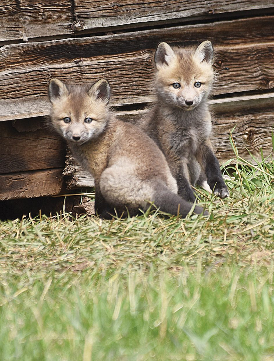 Fox kits sit near their den just south of Steamboat Springs Tuesday afternoon.