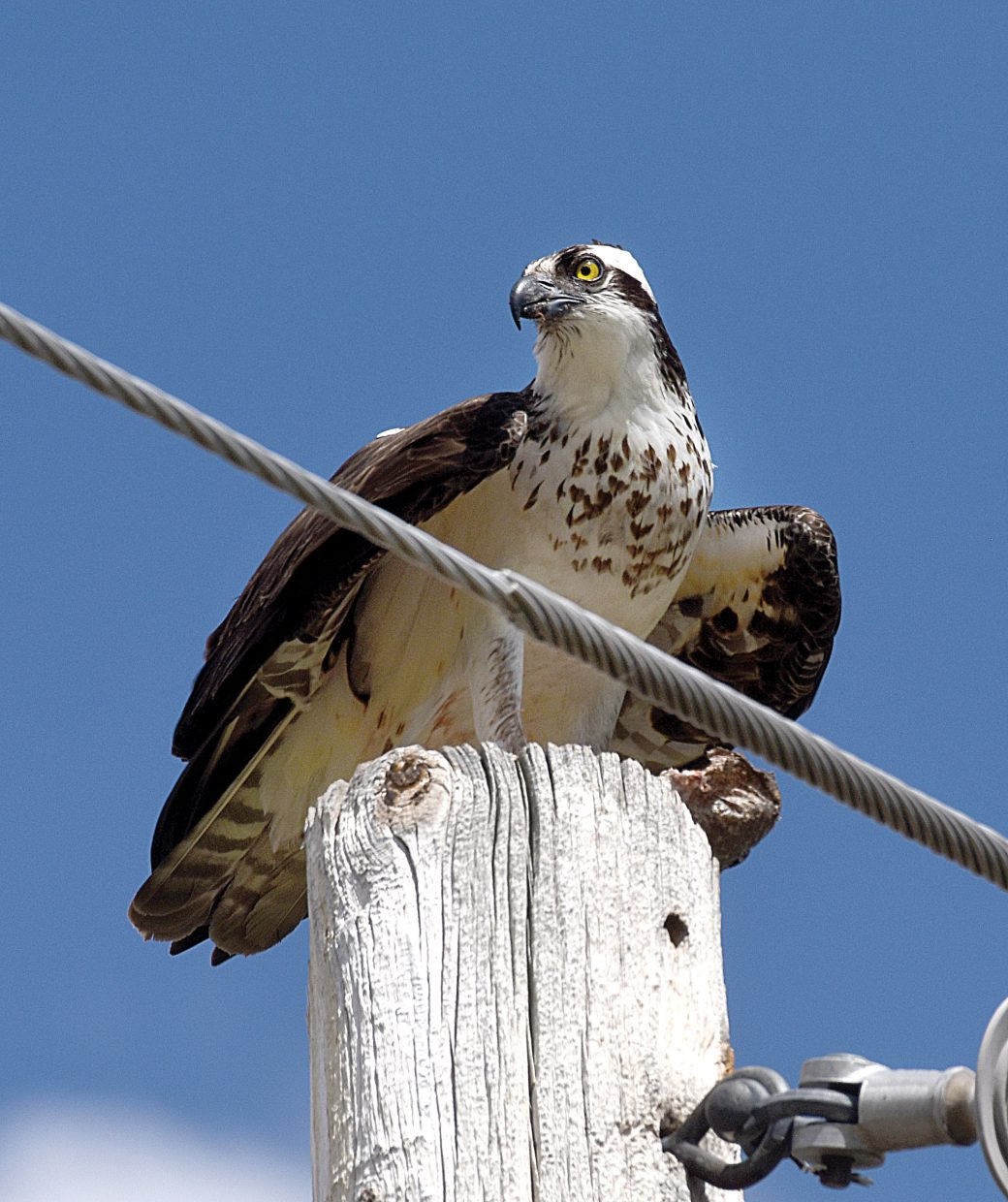 An osprey sits on a telephone pole south of Steamboat Springs Tuesday afternoon with a large fish clutched in its talon.