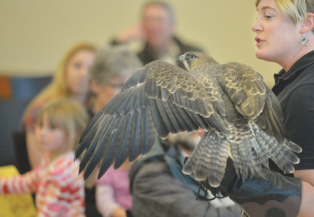 Devin Paszek, executive director of Nature's Educators, holds a Swainson's Hawk during a demonstration for International Migratory Bird Day at the Bud Werner Library. Natures Educators brought several birds ranging from this hawk to a great horned owl.