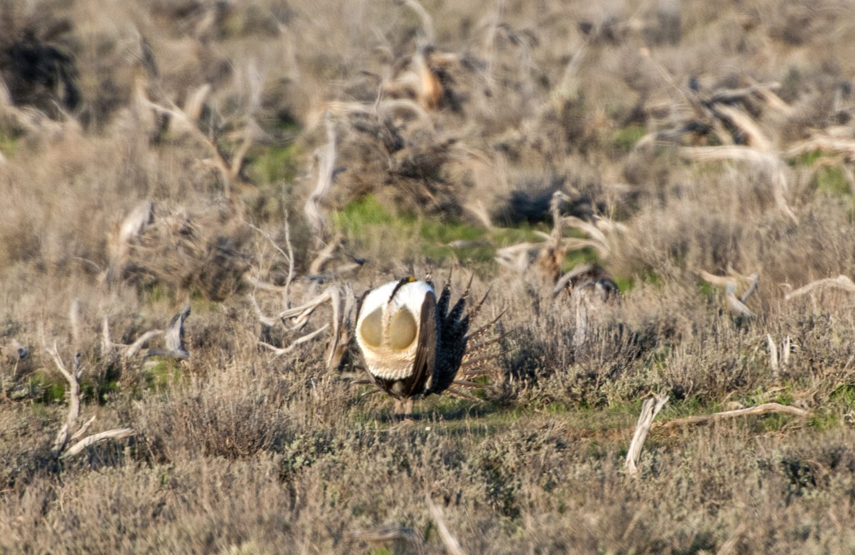 The greater sage grouse is the focus of 15 Environmental Impact Statements released Thursday by the Bureau of Land Management and the U.S. Forest Service, which together comprise a range-wide management plan to protect the species and preclude the need for listing under the Endangered Species Act.