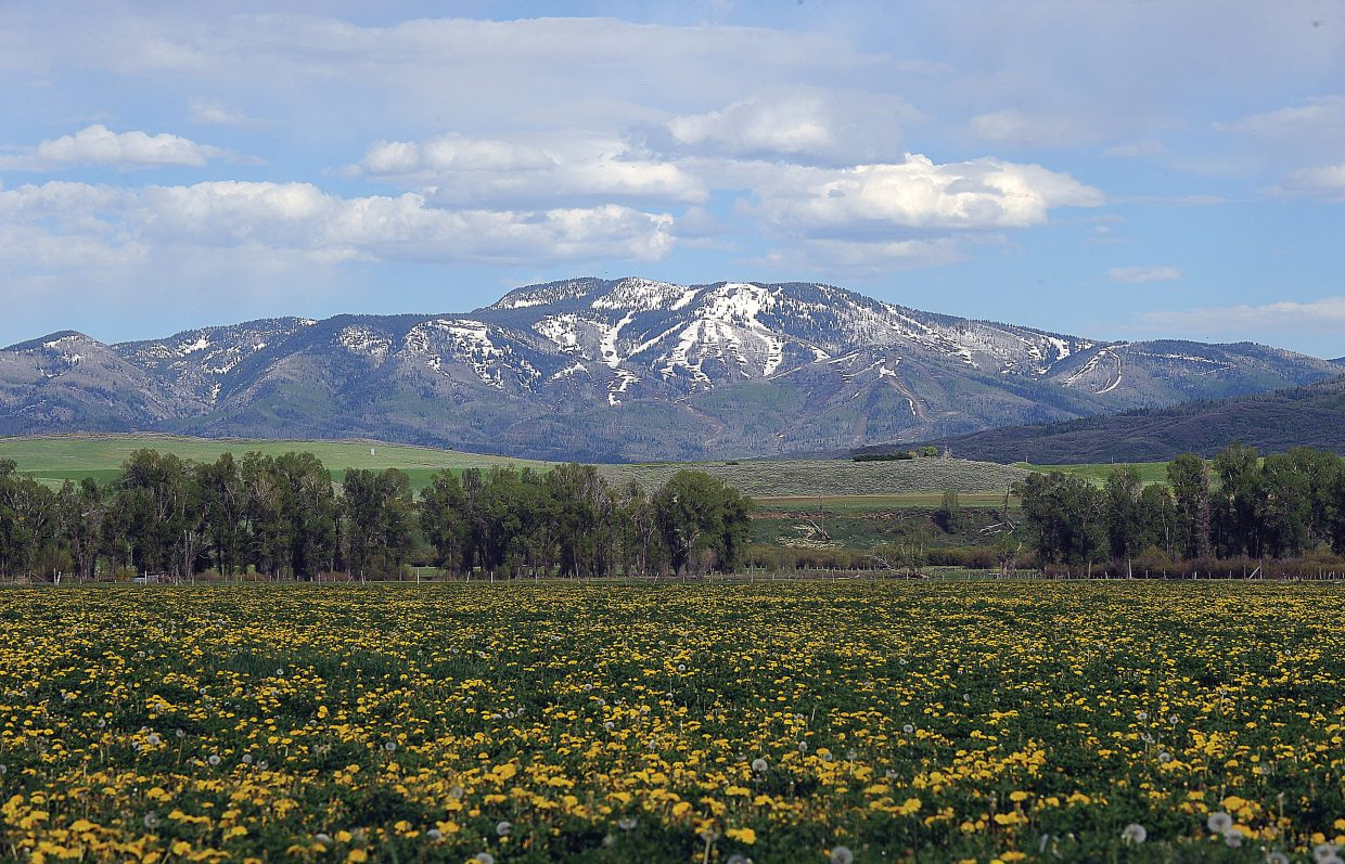 The still snow-covered slopes of the Steamboat Ski area forms a stark contrast to a field filled with lush green vegetation and yellow-topped dandelions.