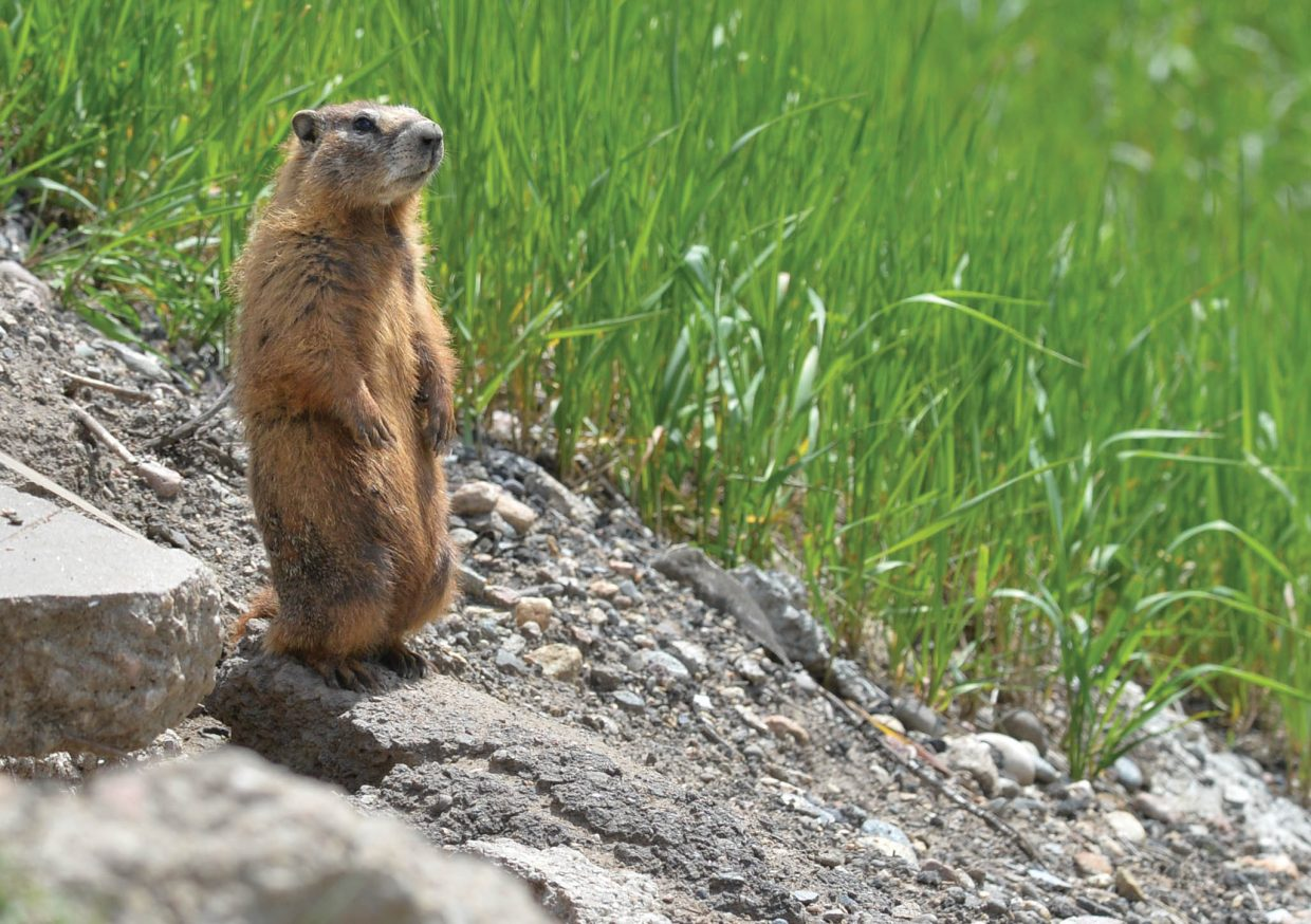 A marmot stand at attention outside it's home near the Steamboat Springs Airport.
