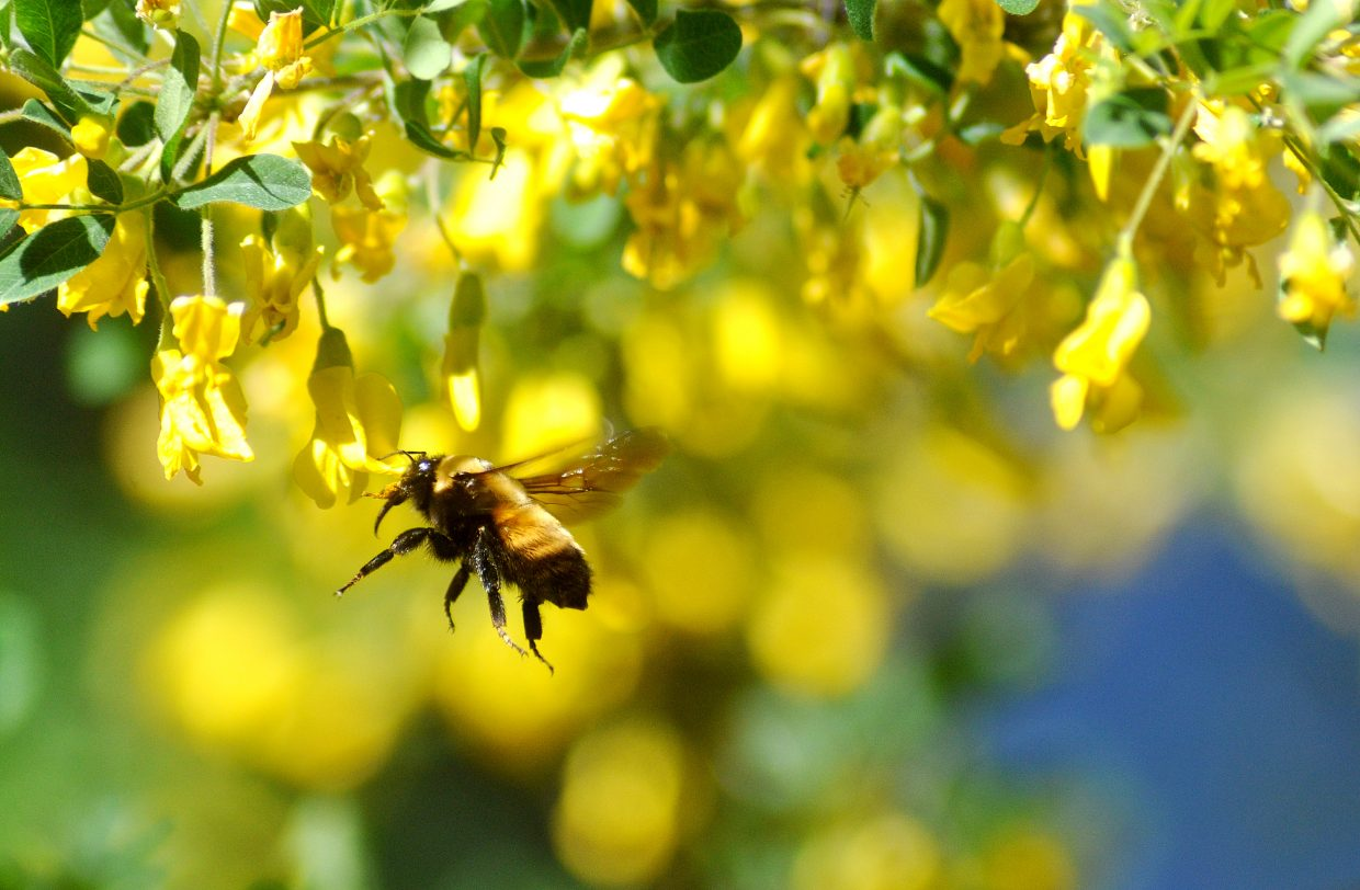 A bee hovers near a flower Friday afternoon in Steamboat Springs.