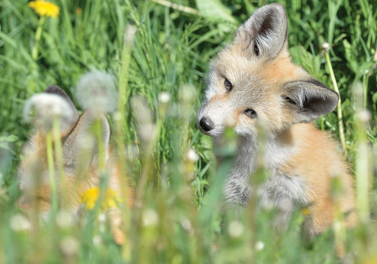 A young fox tilts its head in an attempt to figure out if the photographer is a friend or foe while hanging out near its den in downtown Steamboat Springs.