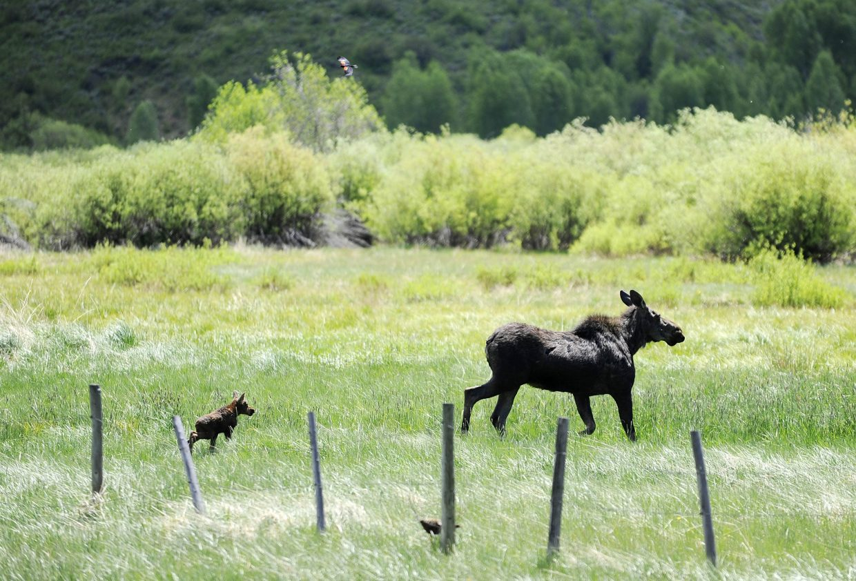 A calf moose walks toward the willows with its mother after getting trapped in a barbed-wire fence in June 2012 just outside Steamboat.
