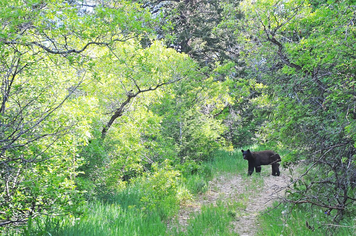 A young black bear pauses on a trail Friday near the top of Howelsen Hill. The bear was checking out some of the new trail construction that is occurring in the area.