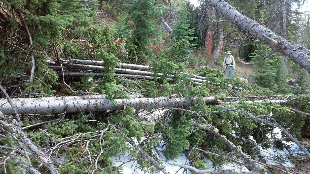 This fallen lodgepole pine will need to be cleared from Gold Creek Trail by volunteers from Friends of Wilderness.
