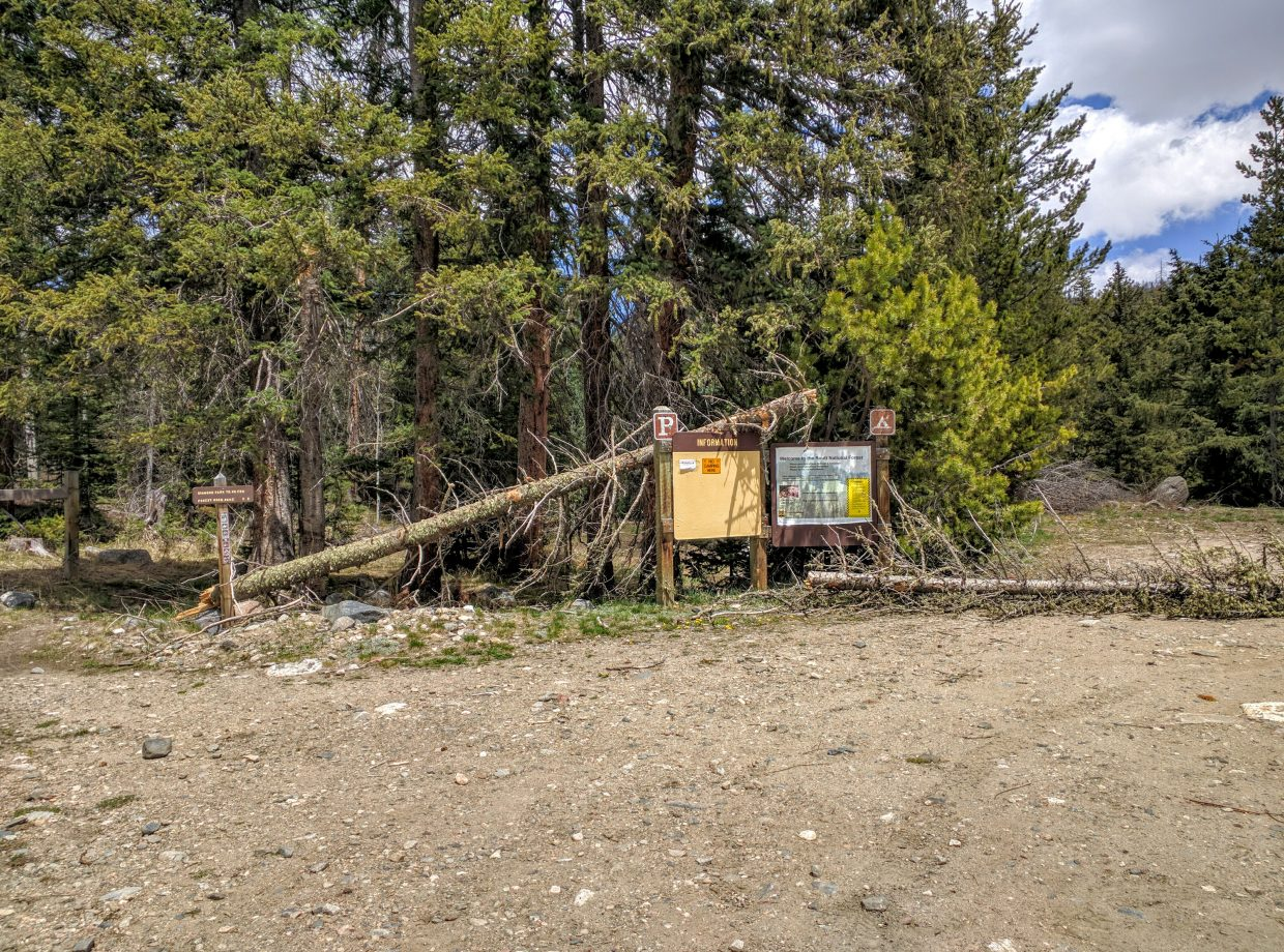 These fallen lodgepole pines at the beginning of 1189 Trail indicate the severity if the past winter.