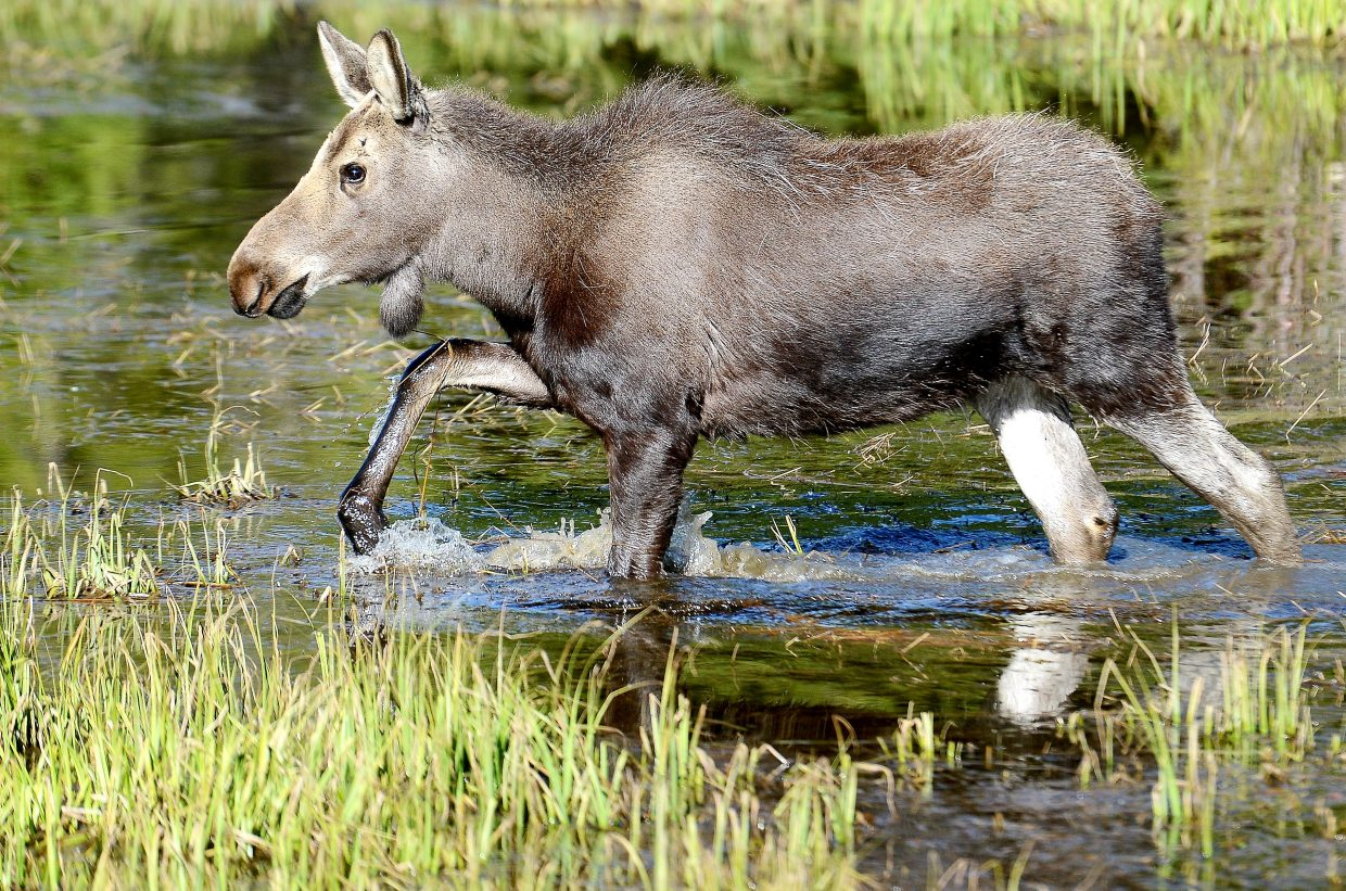 A moose slogs through the water near the Timber Creek Campground at Rocky Mountain National Park.