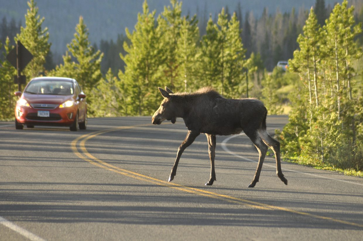 It doesn't take long to see wildlife in Rocky Mountain National Park. A moose crosses the road near the western entrance to the park.