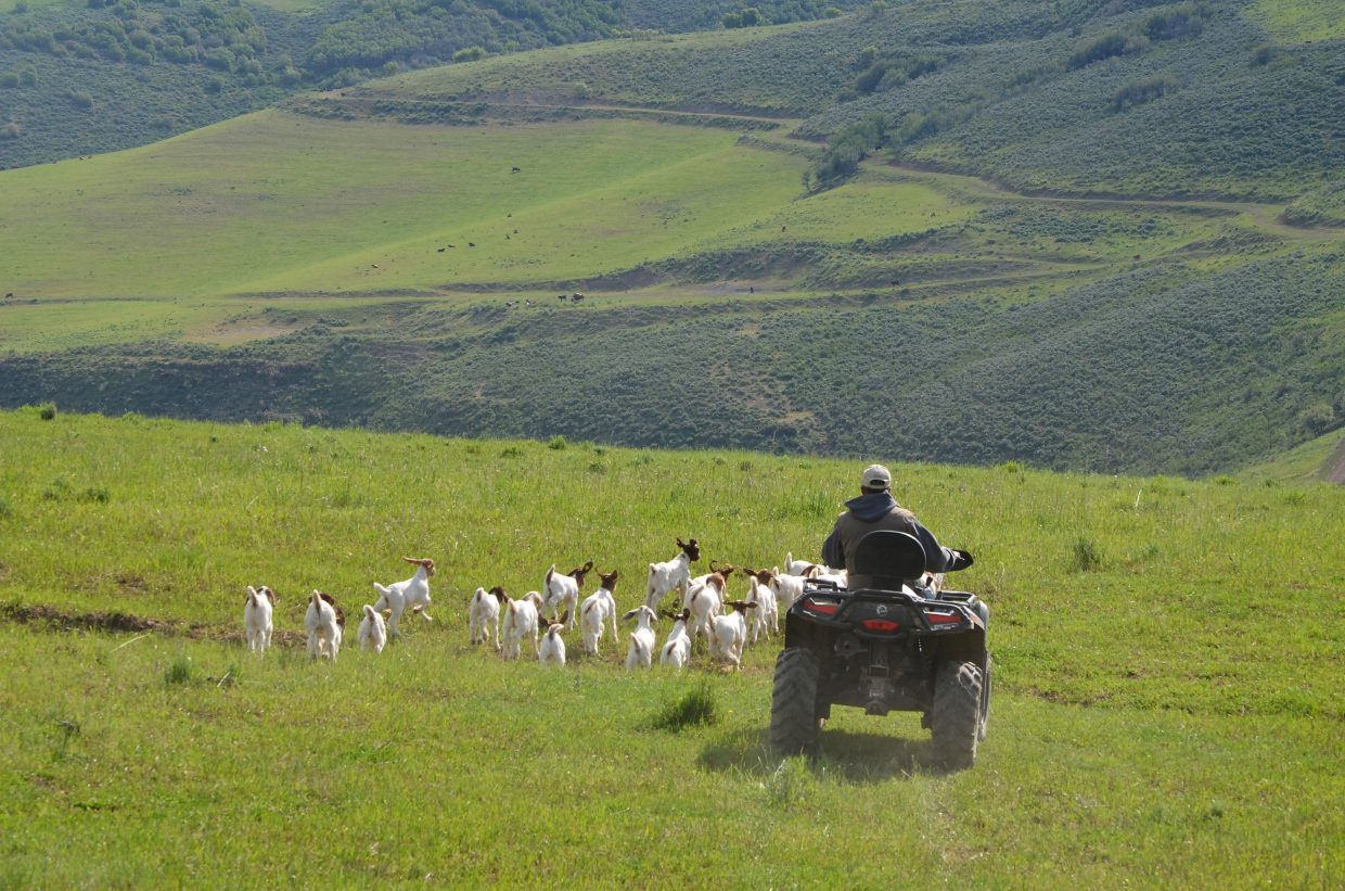 After rousting them out of the sagebrush and chokecherry bushes on foot, Jerad Iacovetto uses an all-terrain vehicle to herd a bunch of about 25 kids back to the main herd, where there is relative safety from predators in numbers.