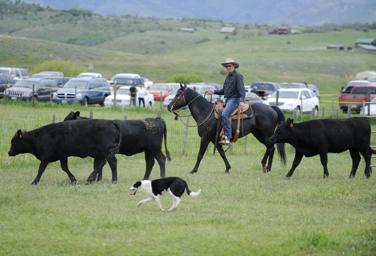 Dean Thompson, of Hartline, Washington, rounds up cattle with his dog Bandit during the National Cattledog Association National Finals on Saturday at Flying Diamond Ranch.